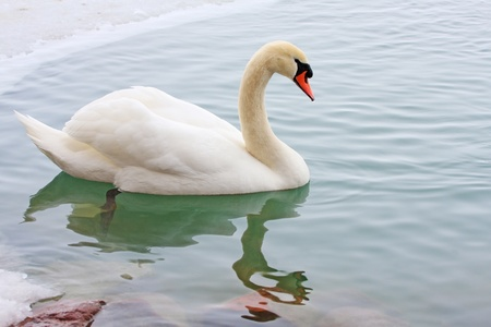 Swan floating on frosty water Stock Photo - 9415235