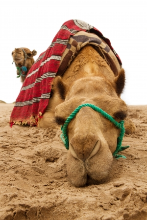 camel dromedary portrait Stock Photo