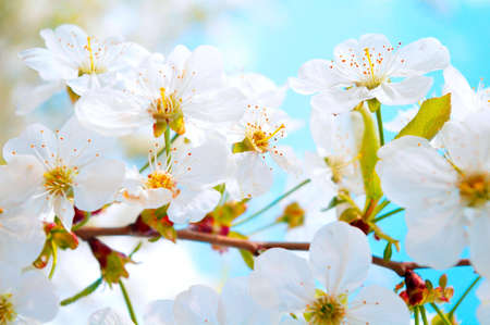 Tender cherry tree branch in bloom photo