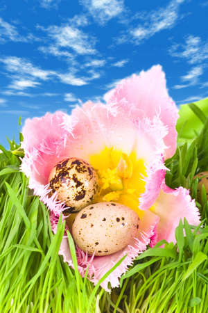 Easter eggs in flower of pink tulip under a bright blue sky photo