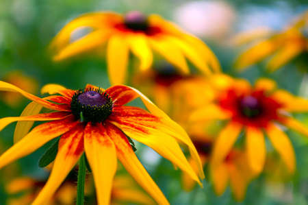 Beautiful yellow flowers of gaillardia photo