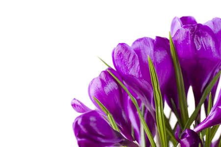 Crocus flowers, isolated Stock Photo - 890679