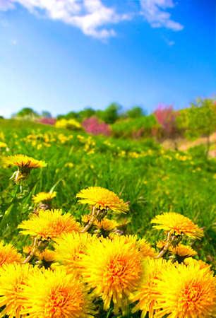 Dandelion meadow under a blue sky photo