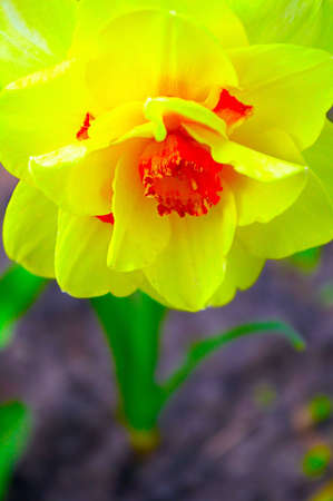 polyanthus: Yellow narcissus close-up