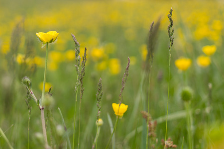 Macro of a field of yellow flowers