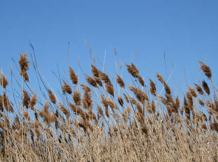 cattails: Cattails Against Blue Sky