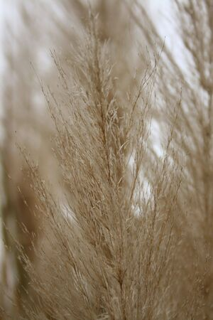 pampas: Pampas Grass - Close-up