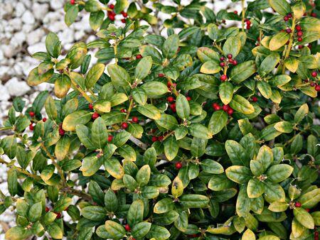 Red Berry Bush Zdjęcie Seryjne