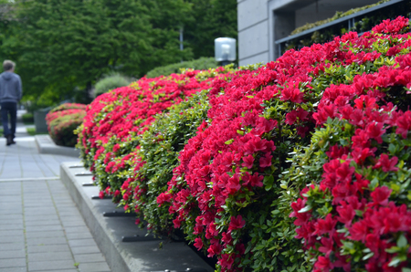 An image of red shrubs along a city sidewalk. Stock Photo