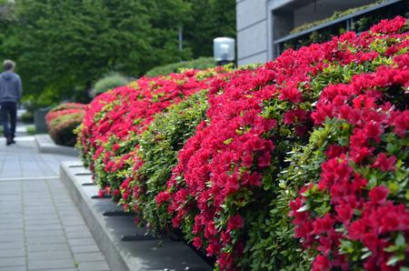 An image of red shrubs along a city sidewalk. Zdjęcie Seryjne