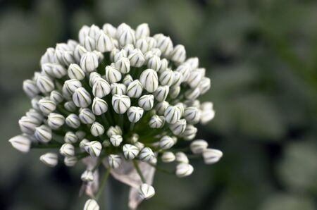 An image of a white onion flower.