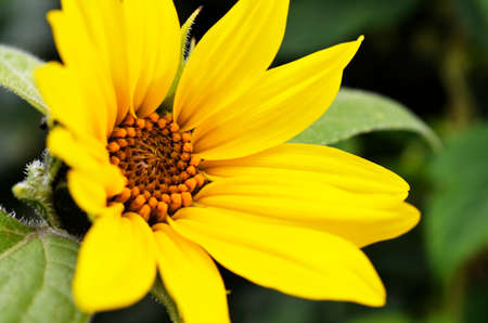 close up image: A close up image of a miniature yellow sunflower.