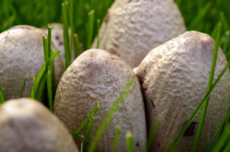 wild mushrooms: An image of wild mushrooms growing in the grass.