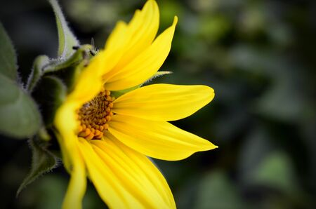 A side view image of a single yellow miniature sunflower. Stock fotó