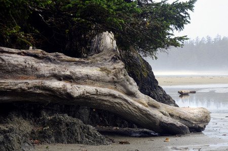 An image of a large piece of washed up drift wood on a beach. Stock Photo