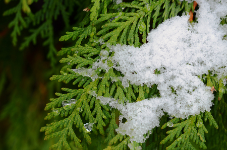cedar tree: An image of snow covered branches on a cedar tree.