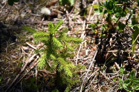 Reforestation Spruce Seedling