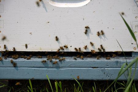 Domestic Honeybees