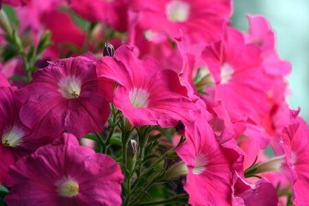 Pink Petunia Close Up Stock Photo
