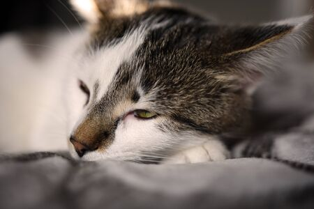 An image of a sleepy white and grey kitten. Stock Photo