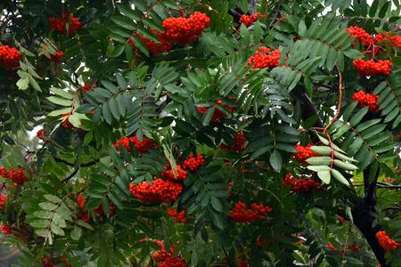 赤いナナカマドの果実