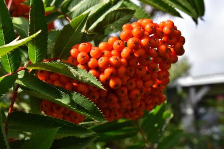 Red Rowan Berries Close Up