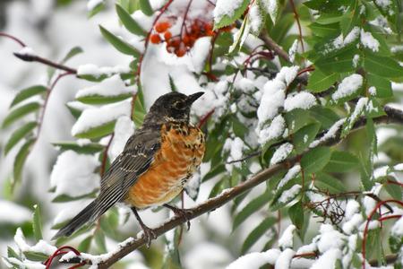 Red Robin Bird and Rowan Berries