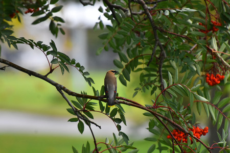 Young Cedar Waxwing Songbird and Rowan Berries