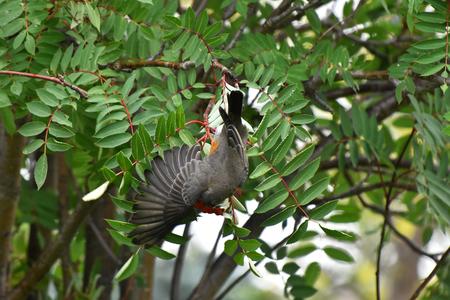 Young Robin Songbird and Rowan Berries 写真素材