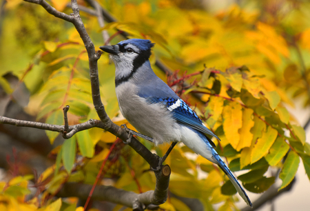 Colorful blue Jay in autumn 免版税图像