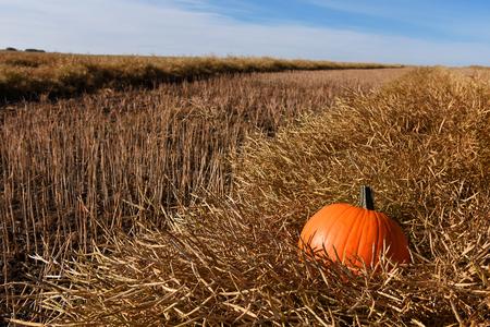 Pumpkin in a canola swath.