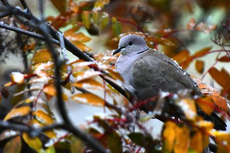 Grey Collared Dove