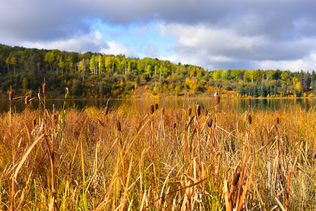 Brown Cattails Stock Photo