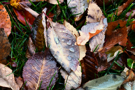 Wilted and Decaying Autumn Leave