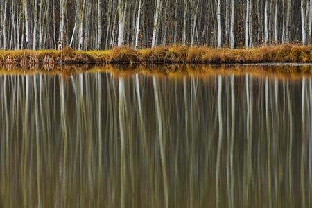 Poplar Tree Reflections