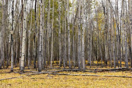 Fondo de árbol de álamo