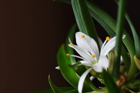 White Spider Plant Flower Close Up Фото со стока