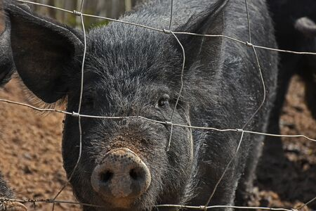 Young Domestic Pigs Close Up