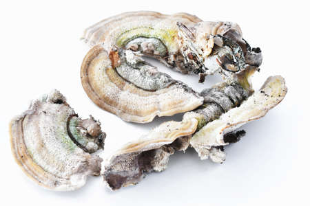 A close up image of white chaga mushrooms on a white background.