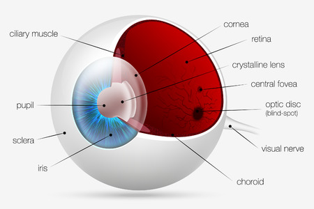 optic nerve: internal structure of the human eye Illustration