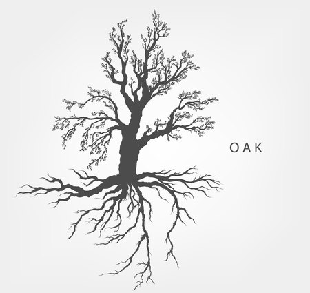 oak trees: hazel tree on a white background with leaves and root system