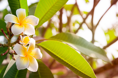 Plumeria flowers are white and yellow blooming on the trees in the afternoon. Stock Photo