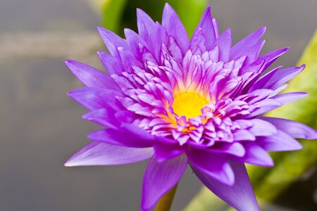 Purple Water blossom in the Thai garden Stock Photo - 7302486