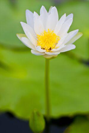 White small lotus photo