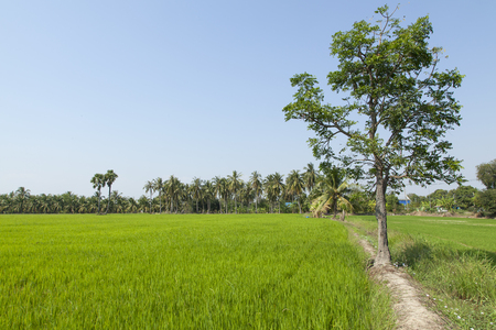 sugar palm: Fresh air in rice plant Stock Photo