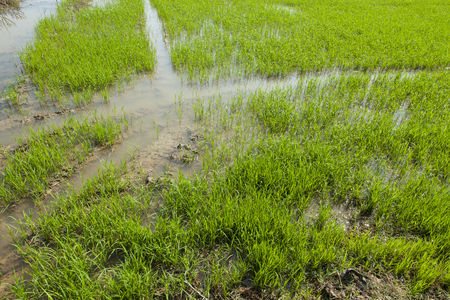 Exuberant rice plant Stock Photo