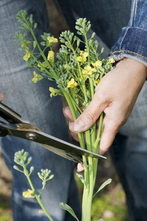 庭で新鮮なブロッコリーをピッキング
