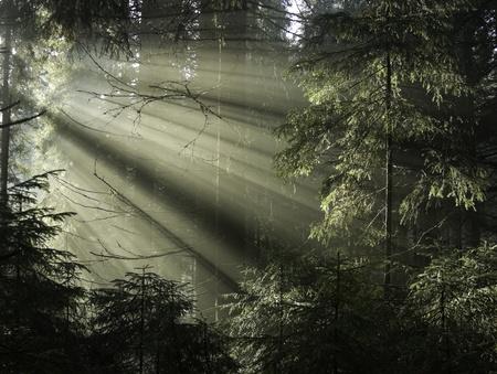 木々 を通して輝く太陽を光します。カルパティア山脈の木、ウクライナ。 写真素材
