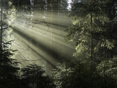 Sun light shining through the trees. Carpathians wood, Ukraine.