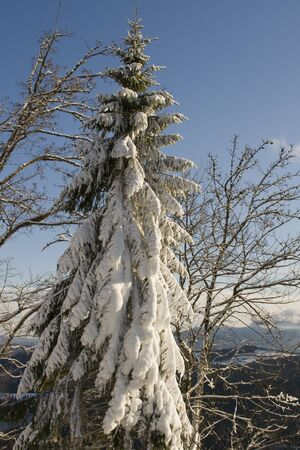 Snow covered pine tree in Carpathian mountains Stock Photo - 10767028